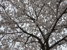 神戸市西区の老人福祉施設事業「大慈園」のさくらの木